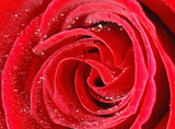 Macro of a red rose sprinkled with water poster
