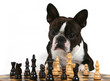 a boston terrier playing a game of chess