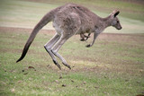 Kangaroo on the move on Angelsea Golf Course