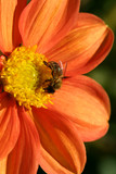 Bee collecting pollen from an orange red  Dahlia poster
