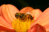 Two bees collecting pollen from a flower poster