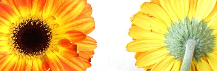 flower-chrysanthemum