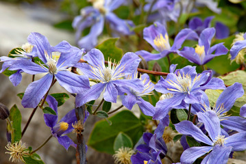 Clematis on a rock wall in a garden.