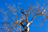 Tree branches against blue sky during winter season poster