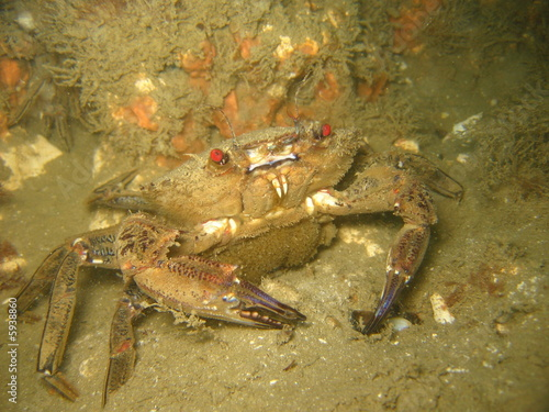 canvas print picture Velvet swimming crab, Necora puber