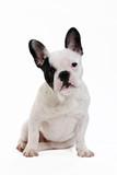 Fototapety chien bouledogue français sur fond blanc