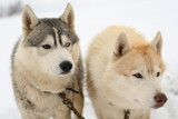 Huskies watching