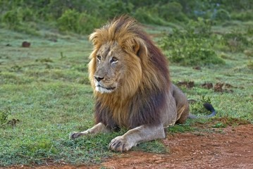 A fully grown Male Lion about to charge an Antelope