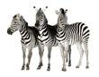 roleta: Zebra