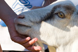 closeup of goat snout with yellow eye poster