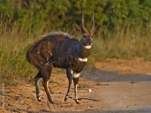 The Male Bushbuck is a born Fighter seen here fully aroused