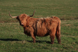 Highland Cattle in a field in Northumberland poster