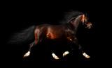 arabian stallion trots - isolated on black poster