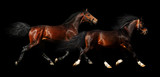two stallions trot - isolated on black poster
