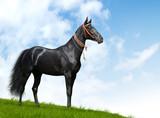 black akhal-teke stallion - realistic photomontage poster