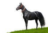 black akhal-teke stallion - isolated on white poster