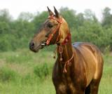 portrait of golden akhal-teke stallion poster