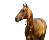 golden akhal-teke stallion poster