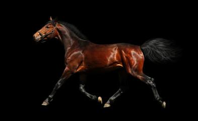 hanoverian stallion trots - isolated on black