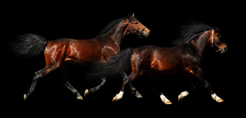 two stallions trot - isolated on black