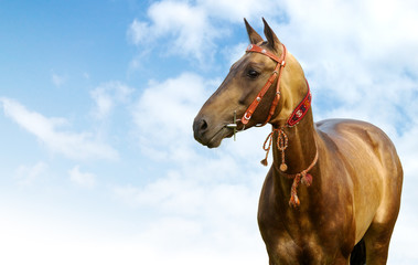 portrait of golden akhal-teke stallion