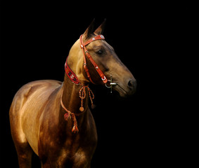golden akhal-teke stallion - isolated on black