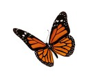 Fototapety Monarch butterfly