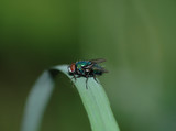 One green fly sits on a stalk of a grass a close up poster