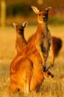 canvas print picture - Western Grey Kangaroo