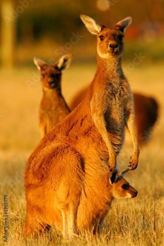 Fotobehang Kangoeroe Western Grey Kangaroo
