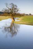 Tree reflected in receding flood water lit by evening sun poster