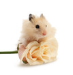 hamster with rose