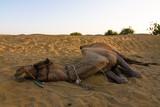 Camel on safari - Thar desert, Rajasthan, India poster