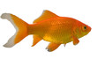 a type of goldfish called a comet on white