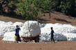 La récolte du coton