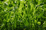 A lush grass in the sunlight poster