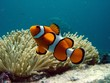 Clownfish and anemone - 5994435