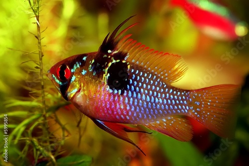 Mikrogeophagus ramirezi (the Ram cichlid) - Male