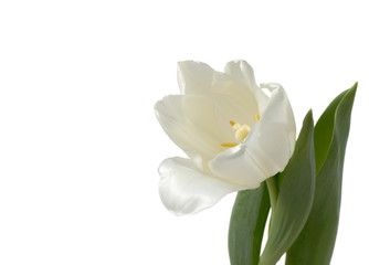 White tulip on a background