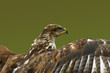 Close up of Bird of Prey