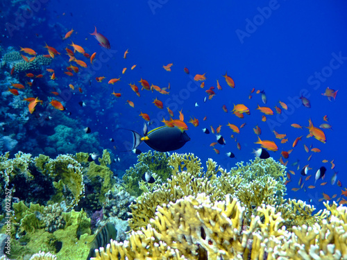 Underwater landscape with Scalefin Anthias and Surgeonfish.