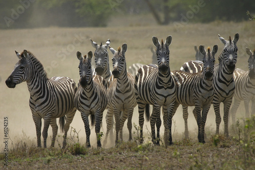 Leinwandbild Motiv zebras