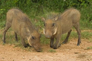 Warthog Babies spend all their time together