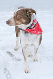 Austrailian Shepherd dog in snowy weather poster