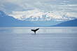 Humpback whale sounding. Frederick Sound SW Alaska.