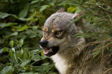 Wolf zeigt Zähne