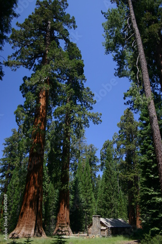 Big Sequoias in Yosemite National Park