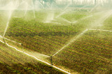 Vegetable field being irrigated in the early in the morning poster