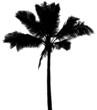cocotier noir