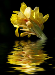 beautiful yellow flower reflected in water